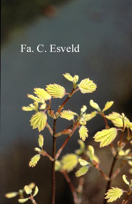 Acer circinatum 'Sunny Sister'