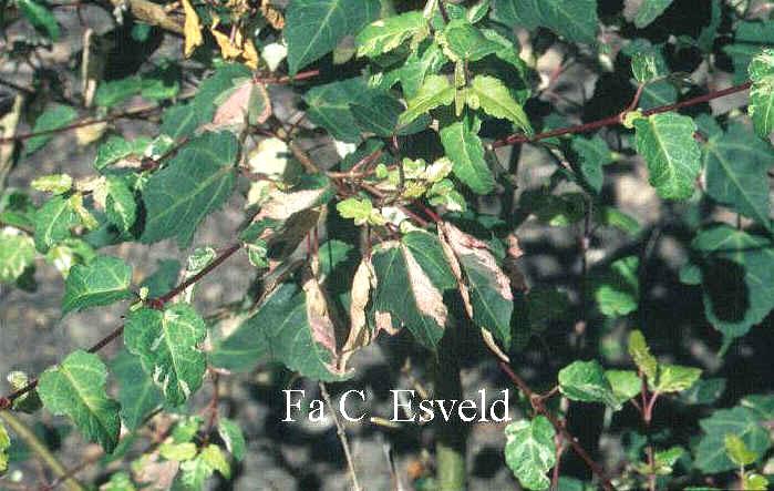 Acer crataegifolium 'Veitchii'