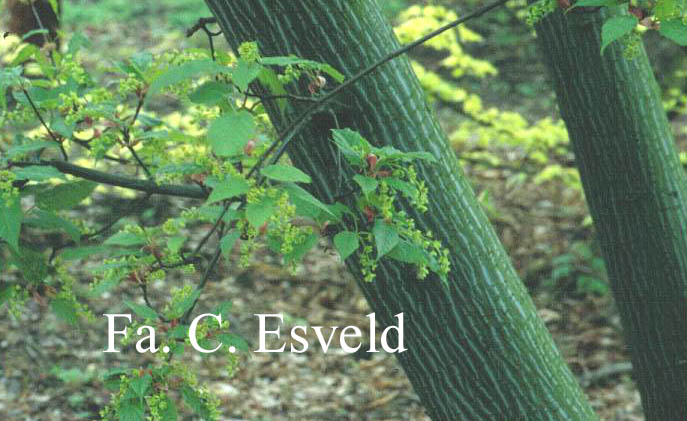 Acer davidii 'Rosalie'