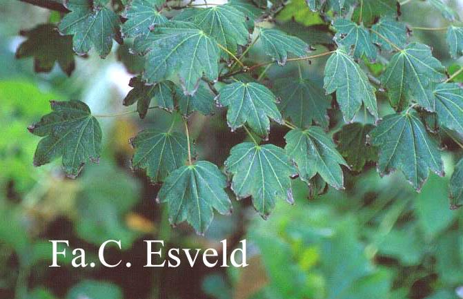 Acer erianthum