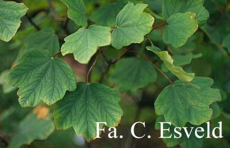 Acer hybridum
