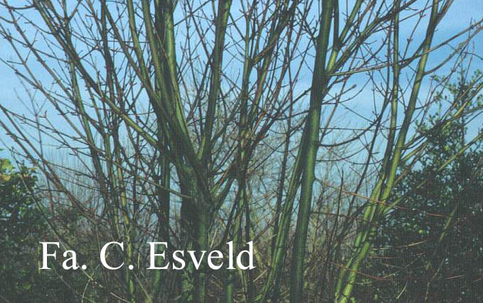 Acer micranthum 'Candelabrum'