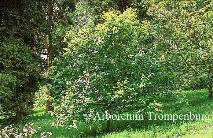 Acer obtusifolium