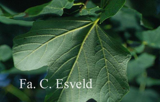 Acer opalus ssp. obtusatum