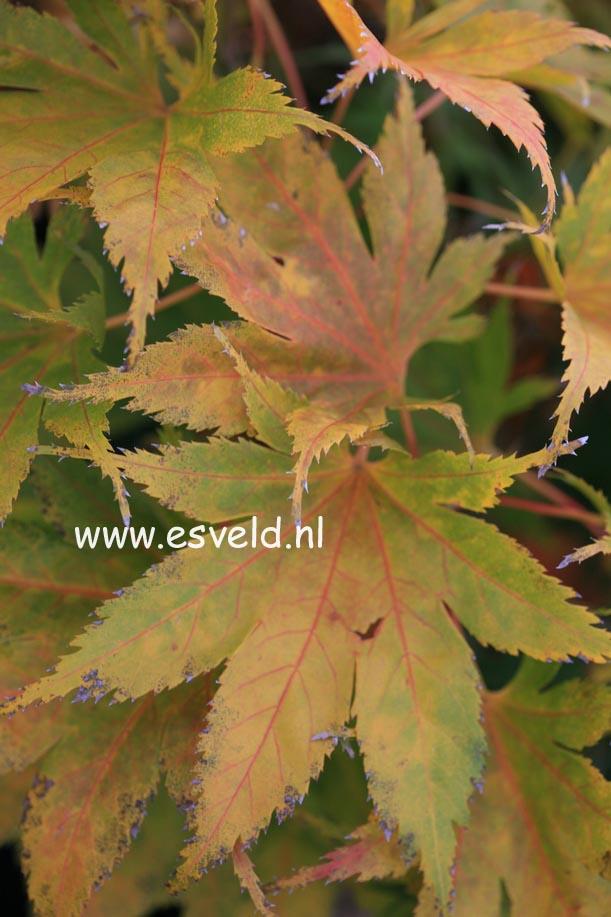 Acer palmatum 'Ao-meshime-no-uchi-shidare'