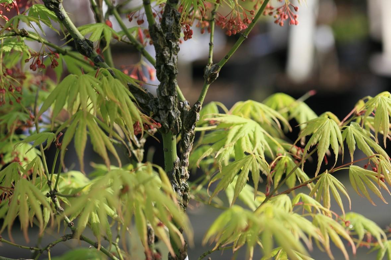 Acer palmatum 'Arakawa-ukon'