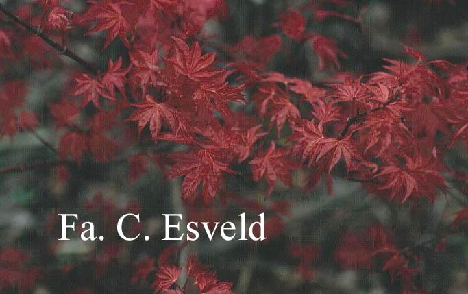 Acer palmatum 'Arano'