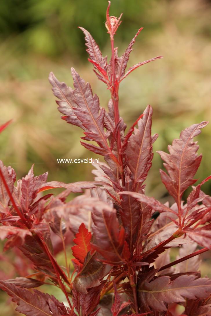 Acer palmatum 'Beni-hagaromo'