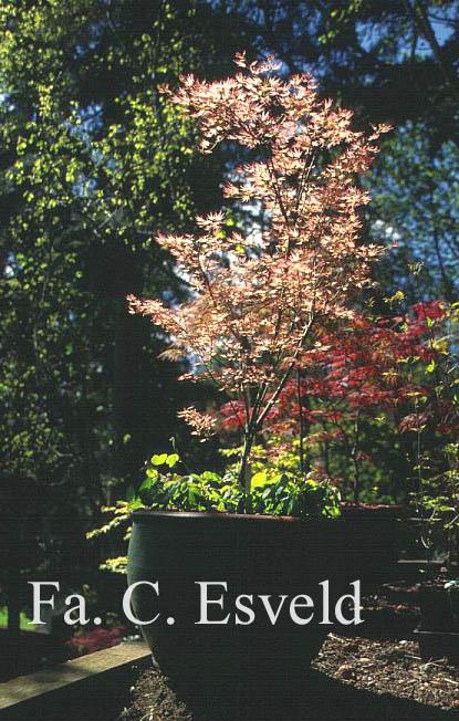 Acer palmatum 'Bonfire'