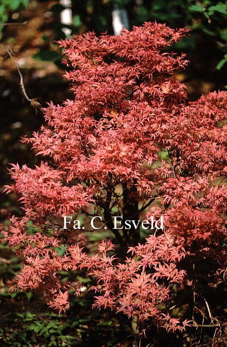 Acer palmatum 'Chishio'