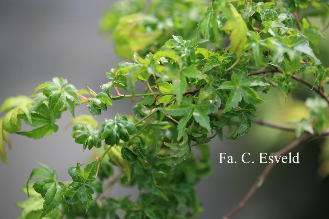 Acer palmatum 'Chiyo-hime'