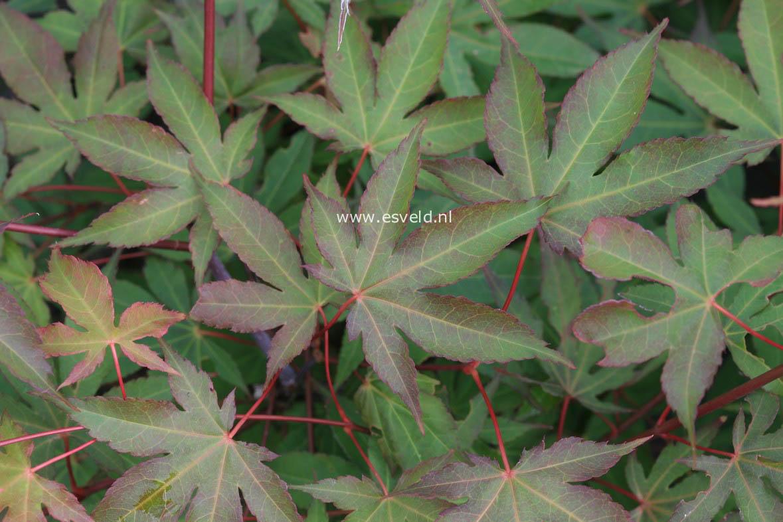 Acer palmatum 'Daiji-sen'