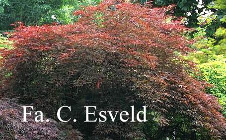 Acer palmatum 'Dissectum Nigrum'