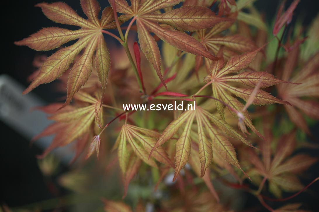 Acer palmatum 'Elmwood'