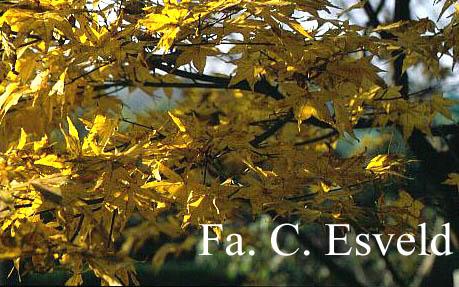 Acer palmatum 'Golden Pond'
