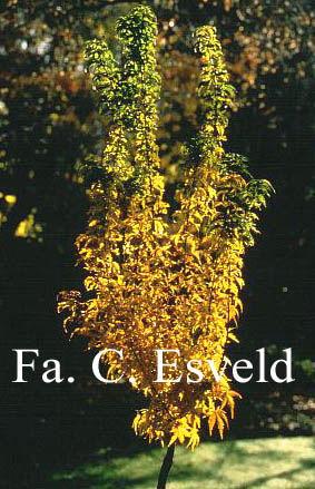 Acer palmatum 'Goshiki-kotohime'