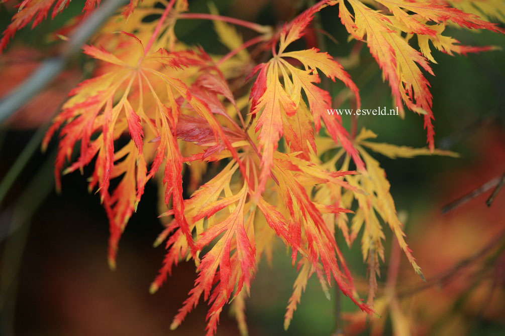 Acer palmatum 'Green Globe'