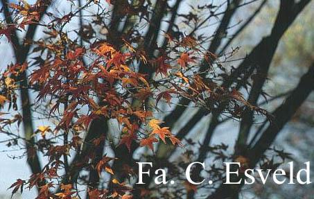 Acer palmatum 'Harusame'