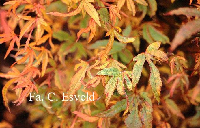 Acer palmatum 'Hoshi-kuzu'