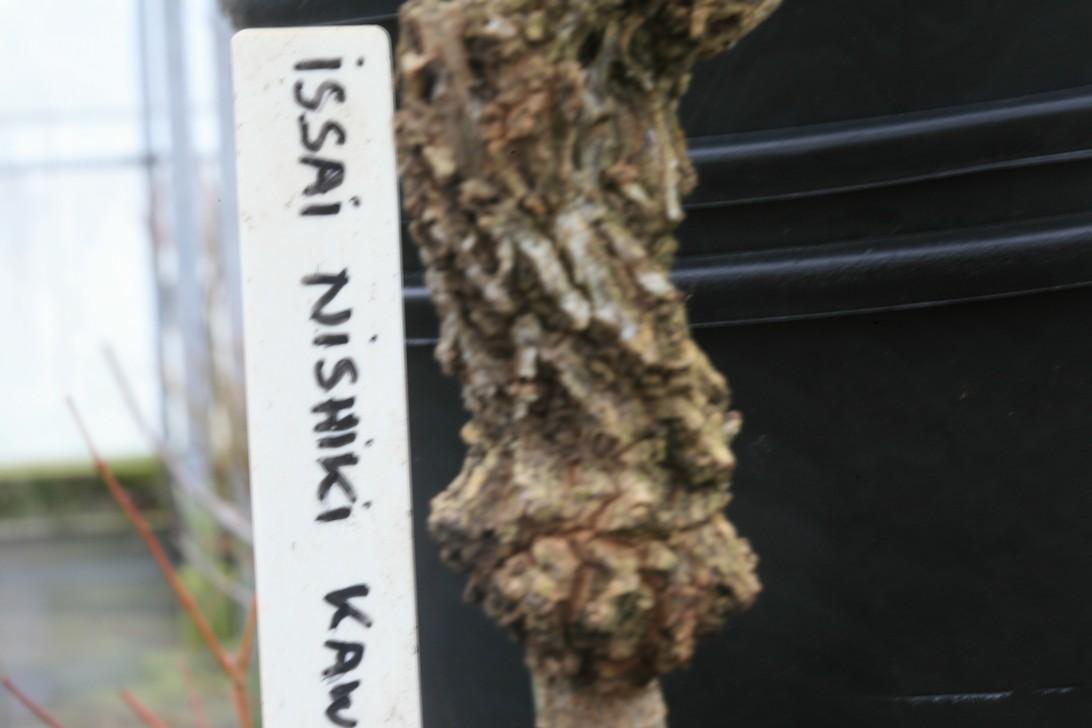 Acer palmatum 'Issai-nishiki-kawazu'