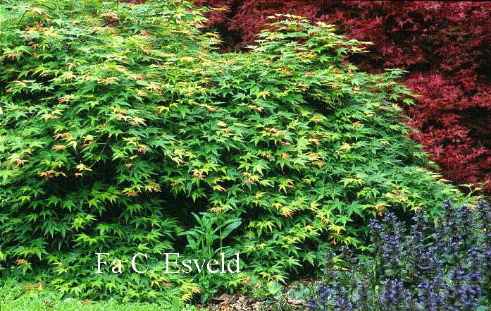 Acer palmatum 'Jiroh-shidare'