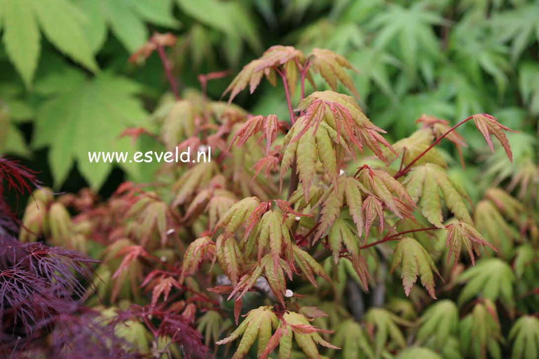 Acer palmatum 'Kenkoh-nishiki'