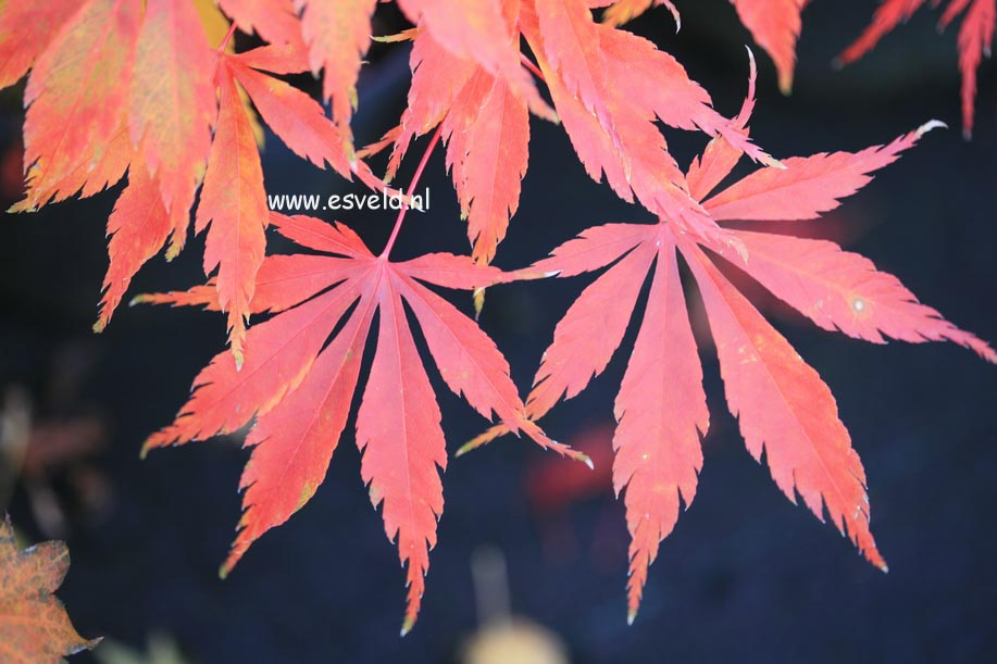 Acer palmatum 'Kenzan'