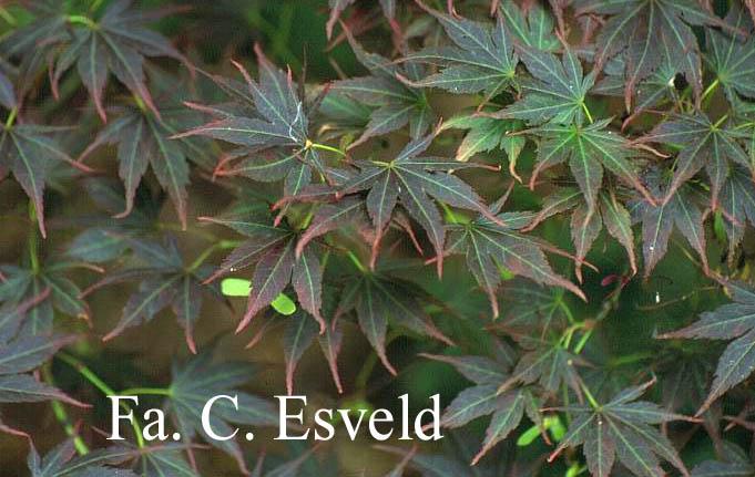 Acer palmatum 'Kinran'
