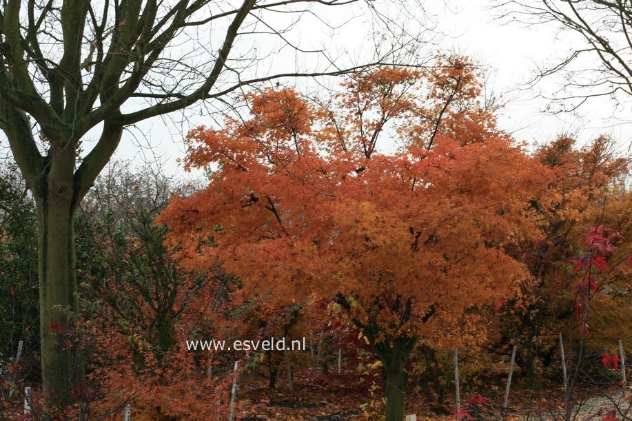 Acer palmatum 'Ko-shibori-nishiki'