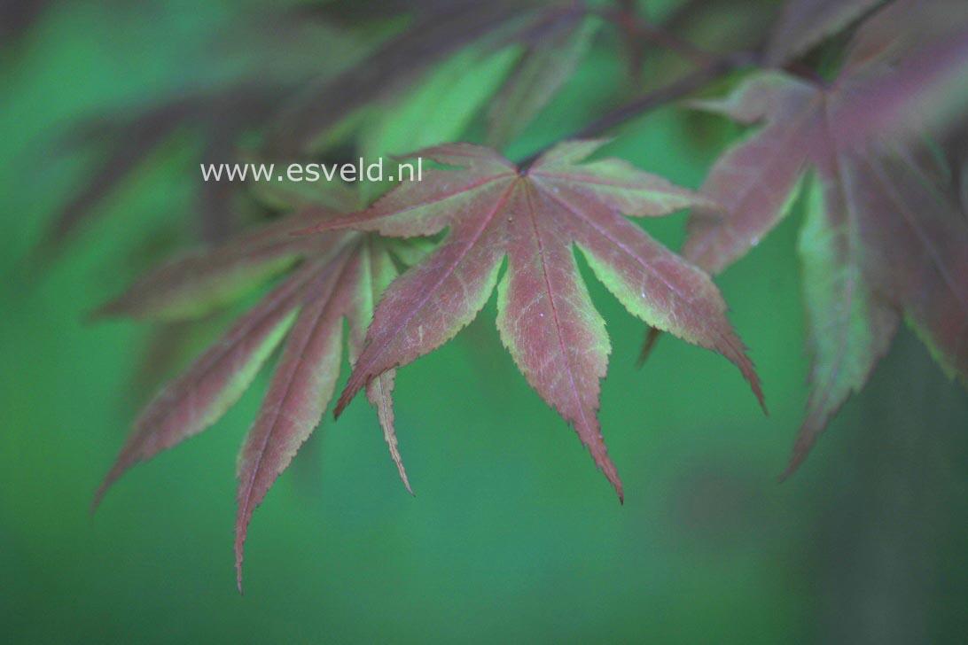 Acer palmatum 'Koba-shohjoh'