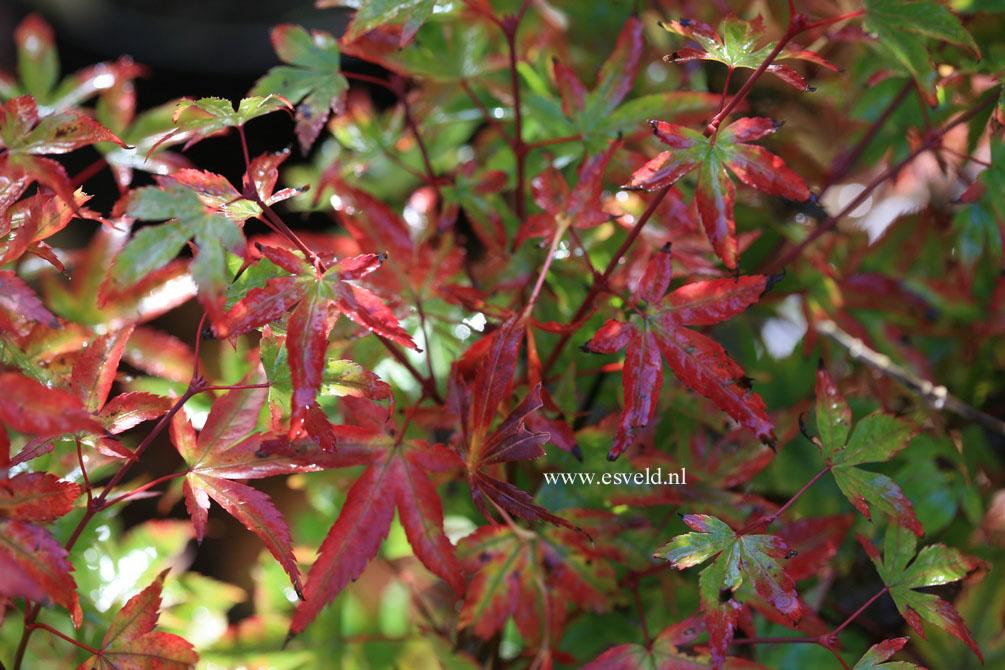 Acer palmatum 'Komachi-hime'