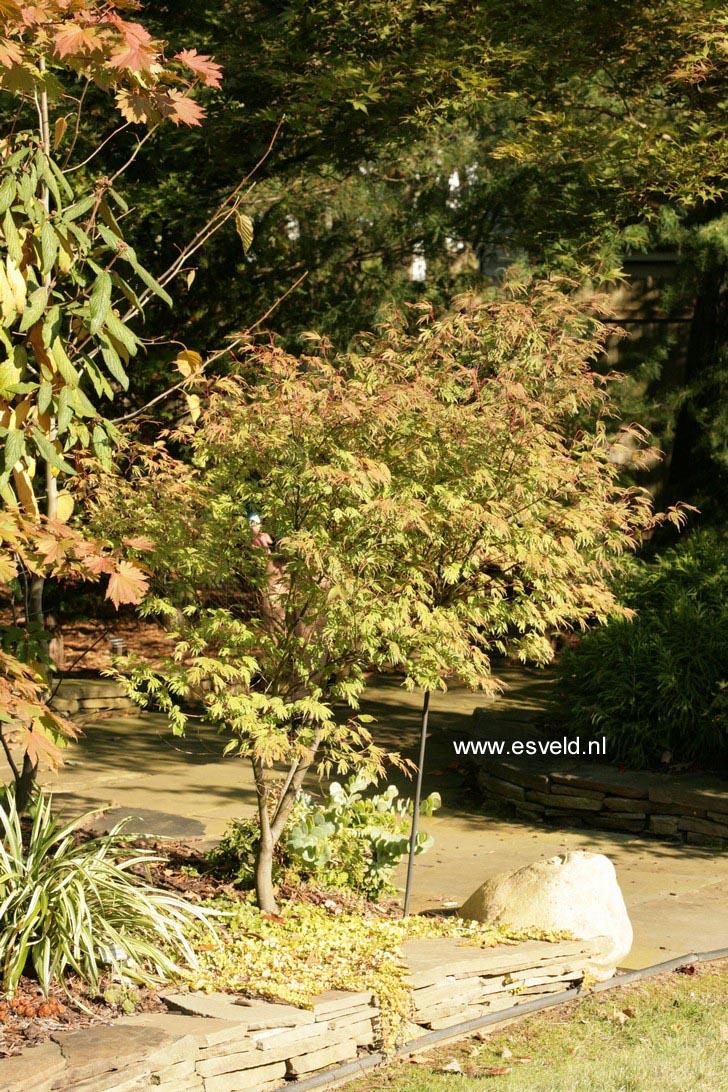 Acer palmatum 'Manyoh-no-sato'