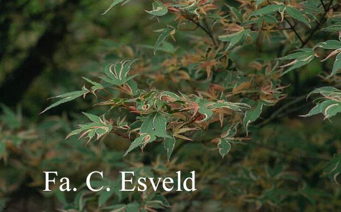 Acer palmatum 'Matsu-ga-e'