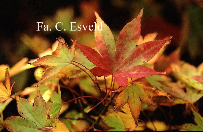 Acer palmatum 'Meihoh-nishiki'