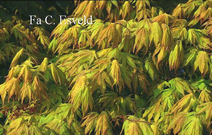 Acer palmatum 'Mizu-kuguri'