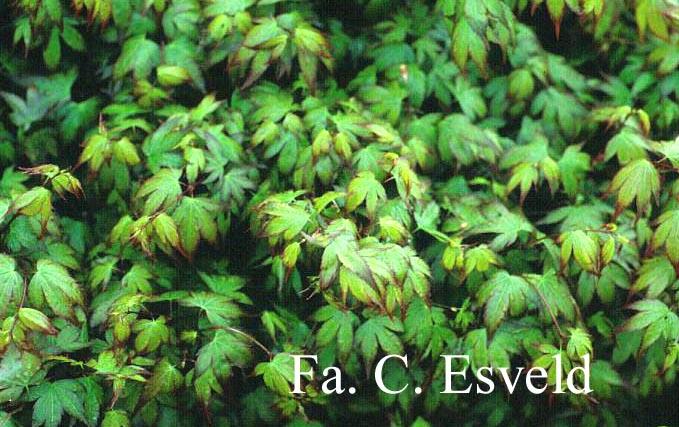 Acer palmatum 'Murasaki-kiyohime'
