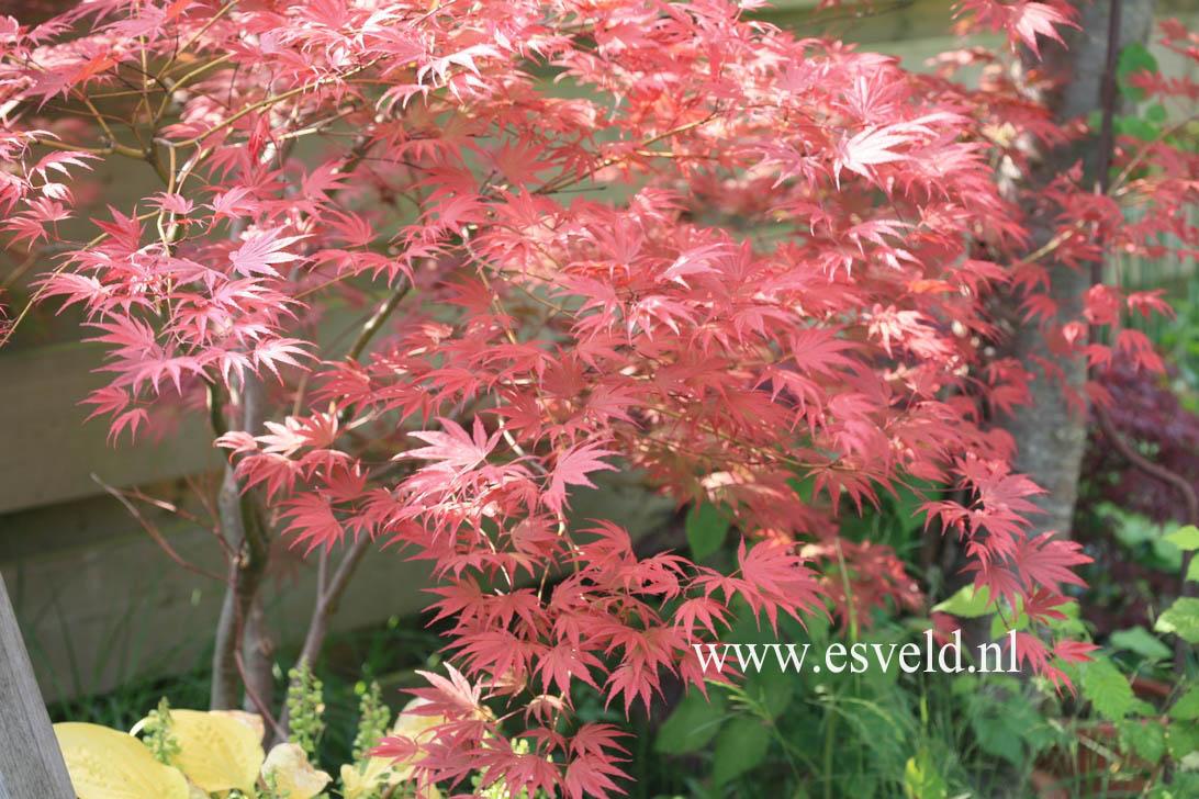 Acer palmatum 'Nathan'