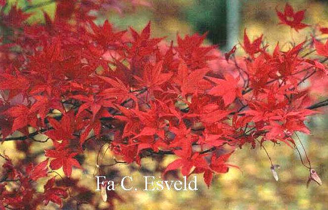 Acer palmatum 'Nure-sagi'