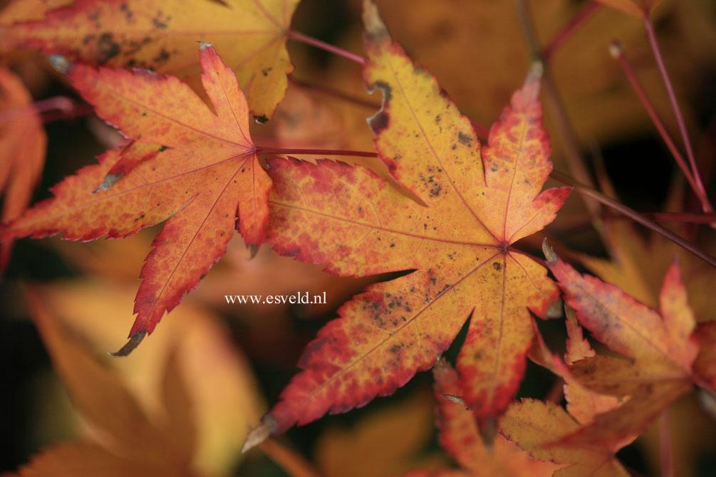 Acer palmatum 'Oranges and Lemons'