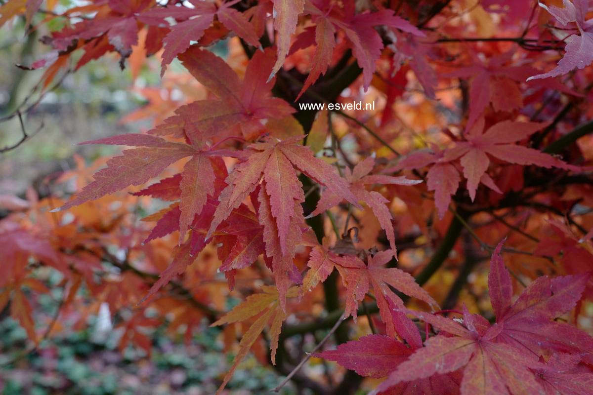 Acer palmatum 'Purple Glory'