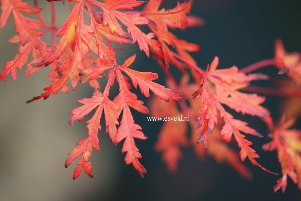 Acer palmatum 'R-Lane'