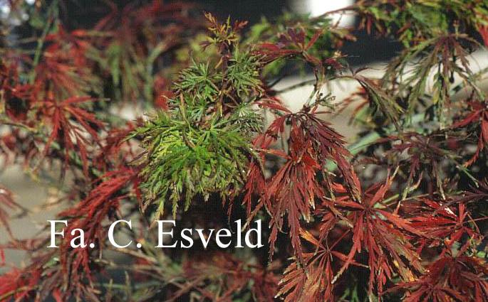 Acer palmatum 'Red Autumn Lace'
