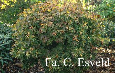 Acer palmatum 'Ryuzu'