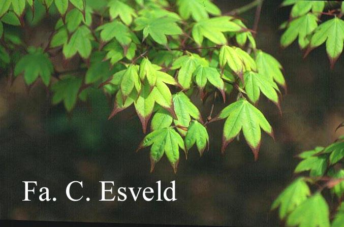 Acer palmatum 'Satsuki-beni'