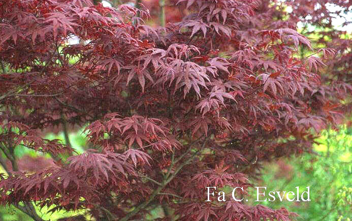 Acer palmatum 'Shohjoh'