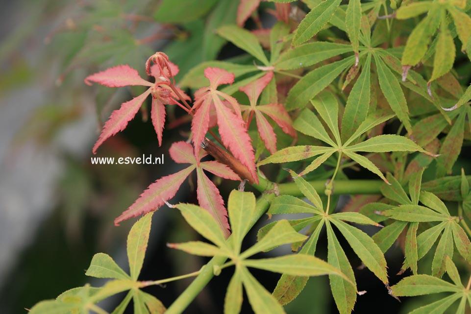 Acer palmatum 'Soma-no-kawa'