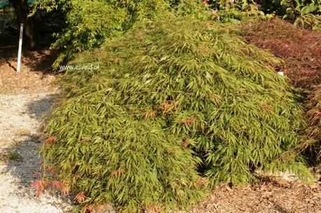 Acer palmatum 'Spring Delight'