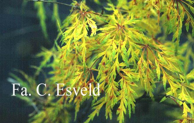 Acer palmatum 'Sunset'