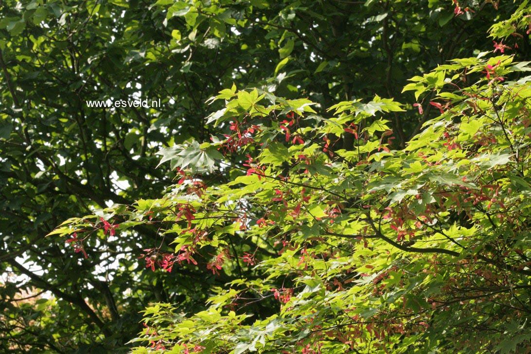 Acer palmatum 'Taihai'