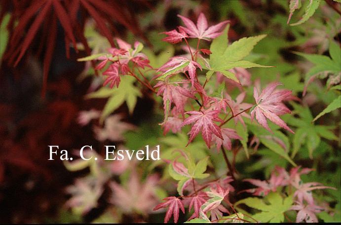 Acer palmatum 'Taiyoh-nishiki'
